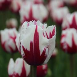 Tulipa 'Flaming Baltic'