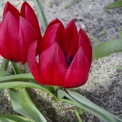 Tulipa humilis 'Lilliput'