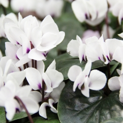 Cyclamen coum 'Album'