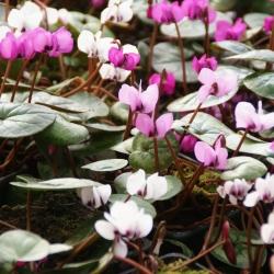 Cyclamen coum -hybriden-