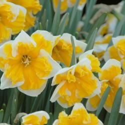 Narcissus 'Orangery'