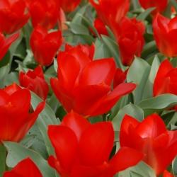 Tulipa 'Princeps'