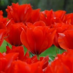 Tulipa 'Princesse Charmante'
