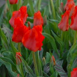 Tulipa 'Red Riding Hood'
