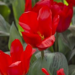 Tulipa 'Royal Anthos'