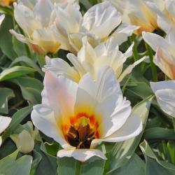 Tulipa 'Albion Star'