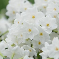 Narcissus 'Paperwhite Inbal'