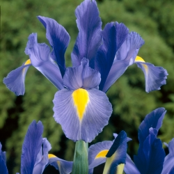 Iris hollandica 'Sapphire...