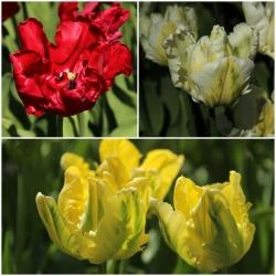 Tulipa 'Madonna Mix'
