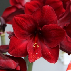 Hippeastrum 'Red Pearl'®