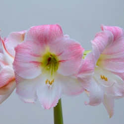 Hippeastrum 'Cherry Bloss'®