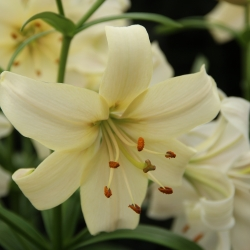 Lilium 'Pearl White'