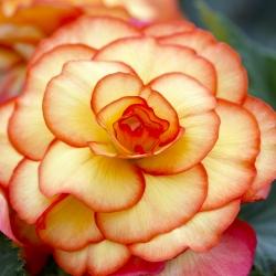 Begonia Picotee -geel-