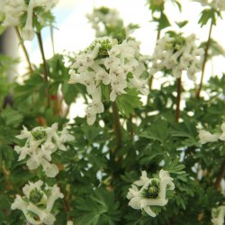 Corydalis solida 'Ice Queen'