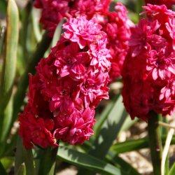 Hyacinthus 'Hollyhock'