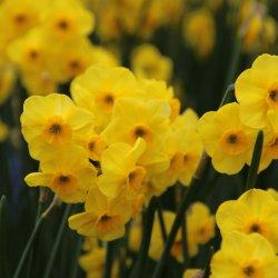 Narcissus 'Kokopellii'