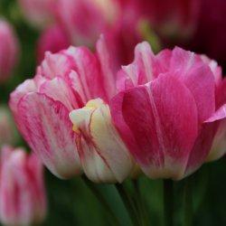Tulipa 'Dream Club'