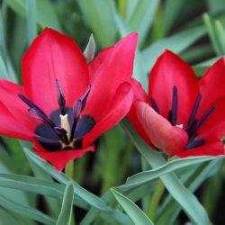 Tulipa stapfii