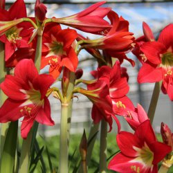 Hippeastrum 'Happy Garden'