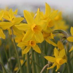 Narcissus 'Très Belle'