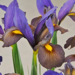 Iris hollandica 'Mystic...
