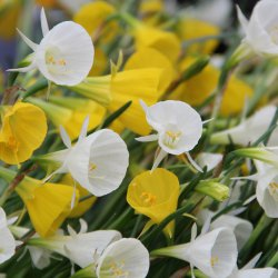 Narcissus bulbocodium -mix-
