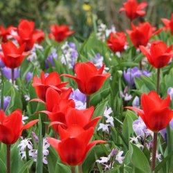 Tulipa 'Showwinner' met...