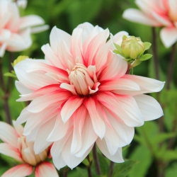 Dahlia 'Catching Fire'