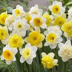 Narcissus Mix Ice Follies...