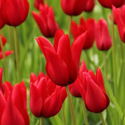 Tulipa 'Pretty Woman'