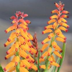 Lachenalia 'Namaqua'