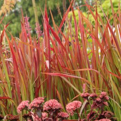Imperata cylindrica 'Red...
