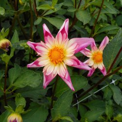 Dahlia 'Fancy Pants'