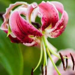 Lilium 'Black Beauty'