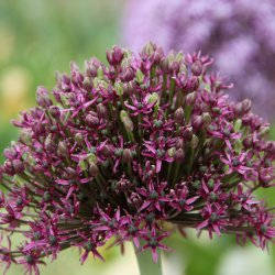 Allium 'Miami'