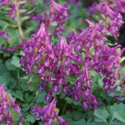 Corydalis solida 'Purple Bird'