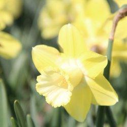 Narcissus 'Honeybird'