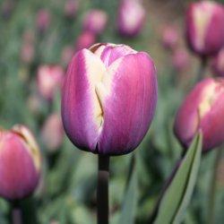 Tulipa 'Atlantis'