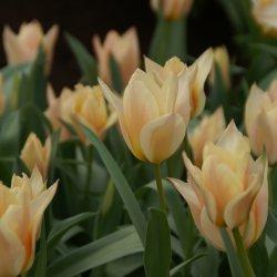 Tulipa 'Für Elise'
