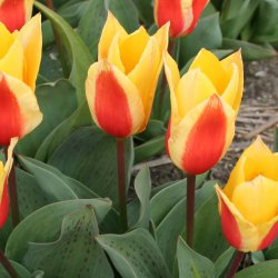 Tulipa 'First Love'