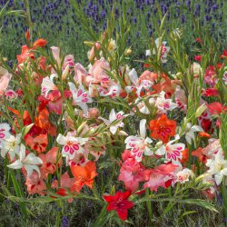 Gladiolus nanus -gemengd-