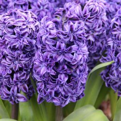 Hyacinthus 'Royal Navy'