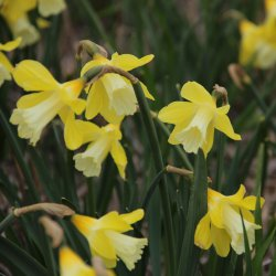 Narcissus 'Little Spell'