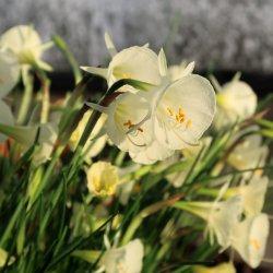 Narcissus 'Arctic Bells'
