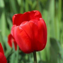 Tulipa 'Red Impression'