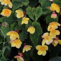 Begonia multiflora 'Helene...