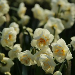 Narcissus 'The Bride'