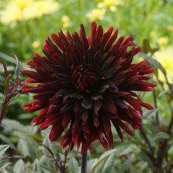 Dahlia 'Black Jack'