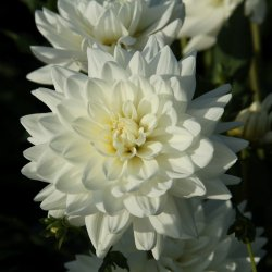 Dahlia 'Eternal Snow'
