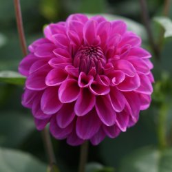 Dahlia 'Purple Fox'